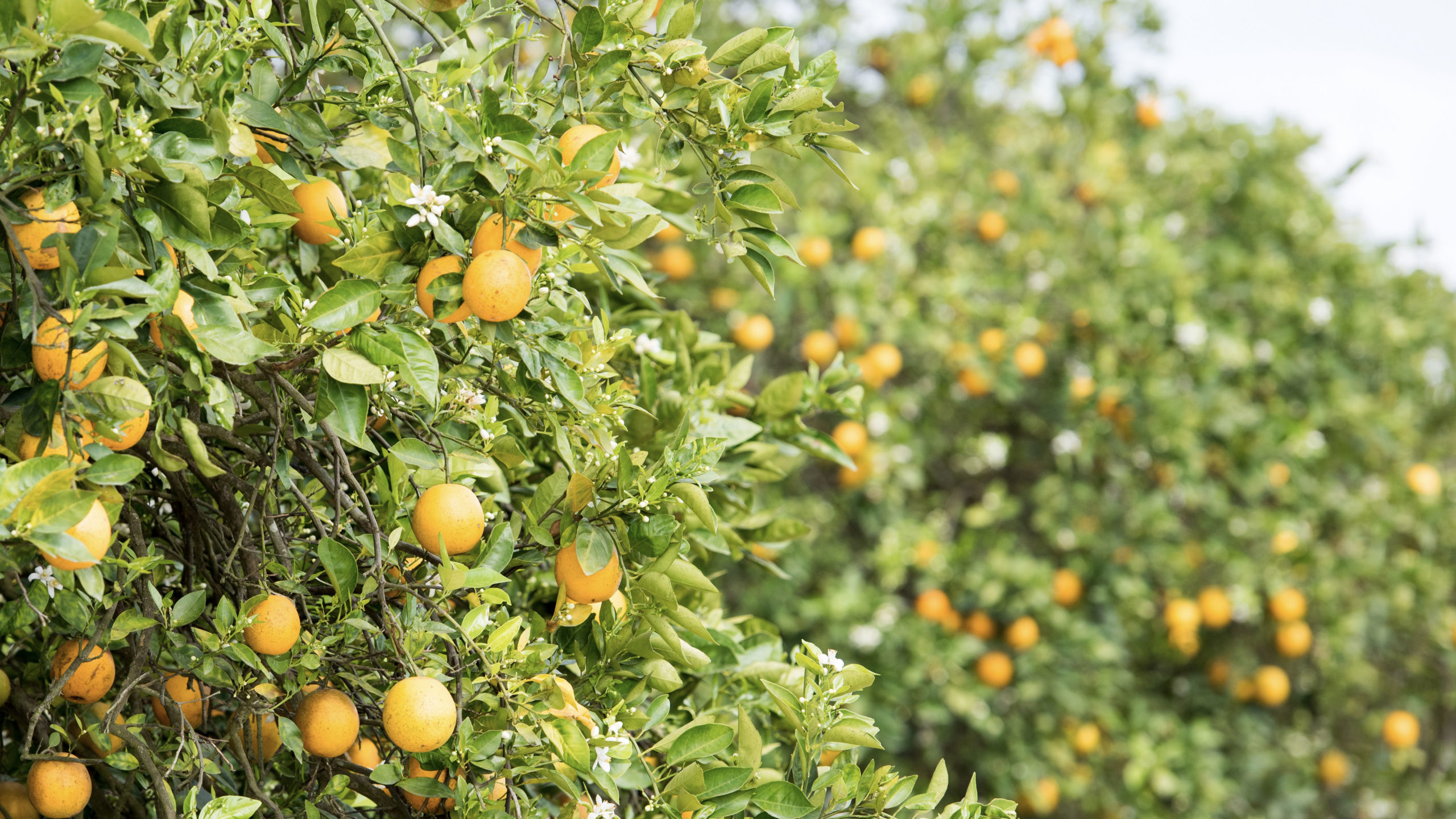 florida oranges hanging from green trees
